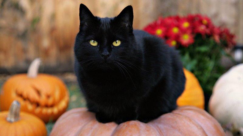 Halloween Bélgica - gato preto